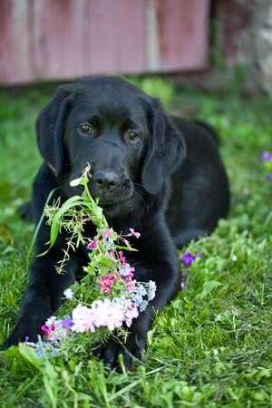 black labrador outdoor Stock Photo