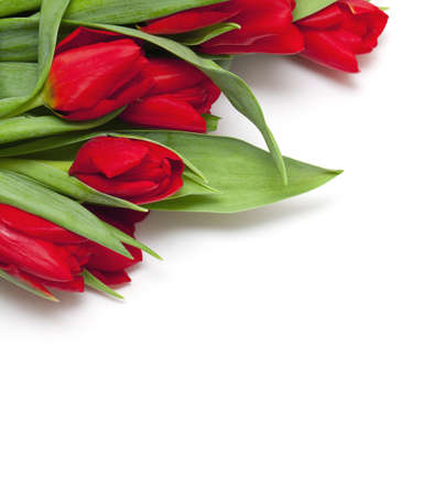 red tulips and empty space for your text photo