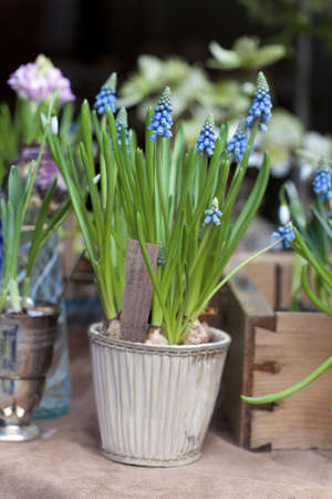 First Blue Springs flowers (Muscari) in a pot photo