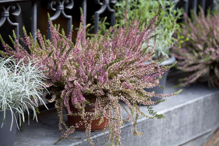 heather and other flowers in pots on a street photo