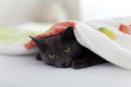 gray cat is looking from under the blanket Stock Photo - 13867385
