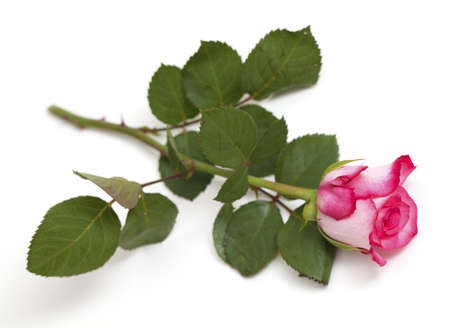 pink rose over white Stock Photo - 13867258