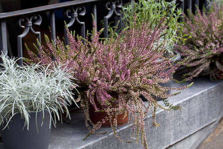 heather and other flowers in pot on a street photo