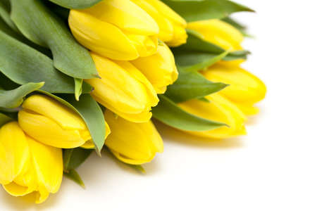 yellow tulips lying on white background photo