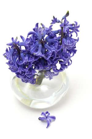 hyacinth flowers in vase isolated on white  photo