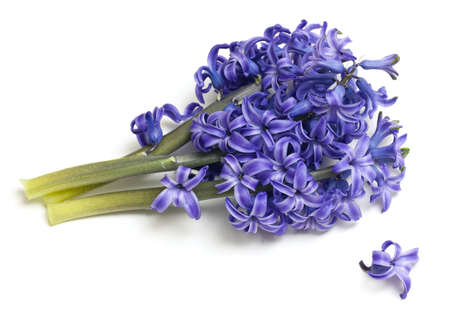 bunch of hyacinth isolated on white photo