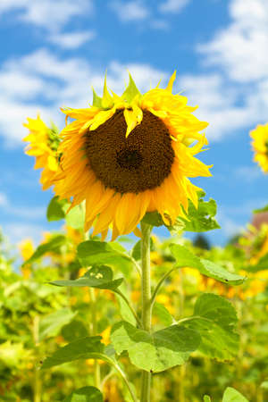 beautiful sunflower in the field photo