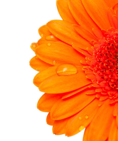 orange gerber flower with water drops and empty space for your text Stock Photo - 13935971