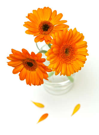 orange gerber flowers in a glass isolated on white photo