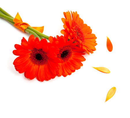 orange gerber flower tied with a ribbon isolated on white photo