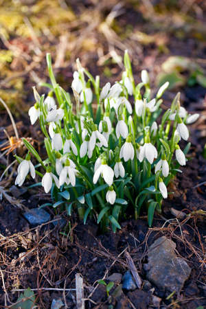 first snowdrops photo