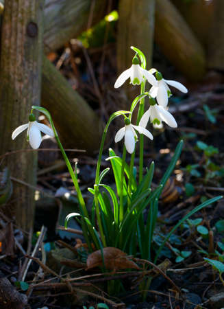 snowdrops next to the wooden fence Stock Photo - 13935913