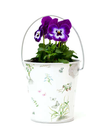 pansies in a beautiful bucket isolated on white photo