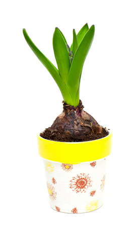 Growing hyacinth flower bulb in pot isolated on white background photo