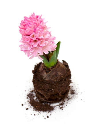 growing pink hycinth with roots photo