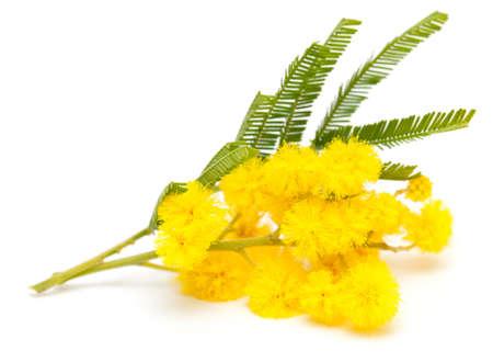 mimosa isolated on white background Stock Photo