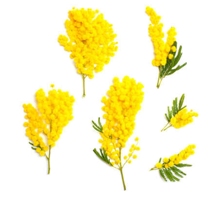 mimosa branches of different size and shape isolated on white background, top view photo