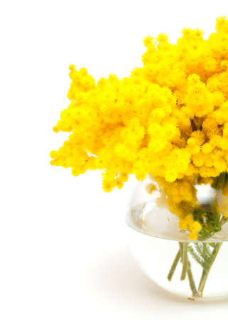 mimosa in a glass vase isolated on white background photo