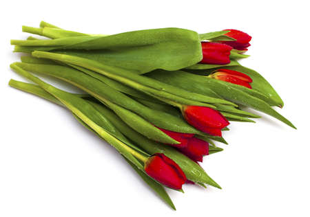bunch of red tulips with water drops isolated on white photo