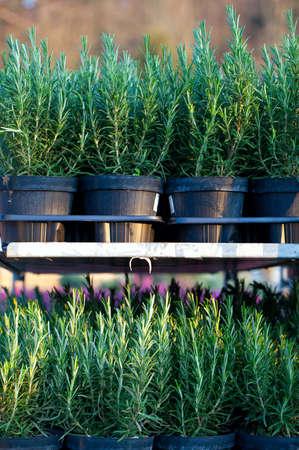 rosemary in pots Stock Photo