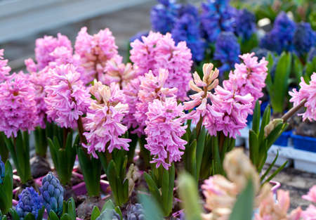 hyacinth in flower market Stock Photo - 13942039