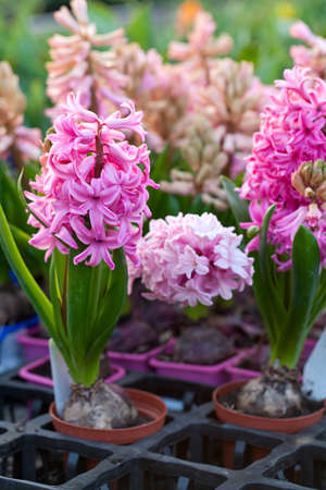hyacinth in flower market photo