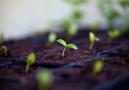jonge komkommerplant