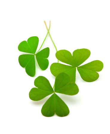 clover leafs isolated on white photo