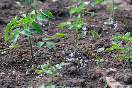 growing tomato plants with fertilizer in granules photo