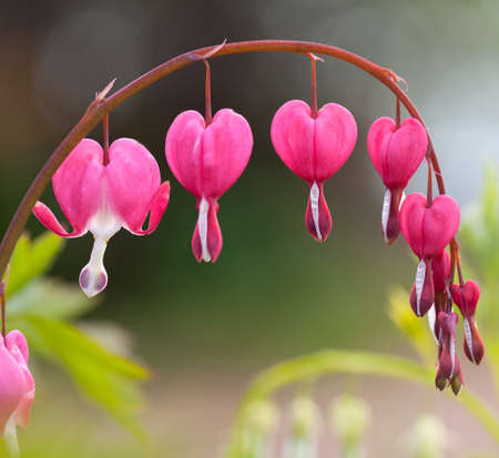 heart shaped: blossoms of bleeding heart flowers Stock Photo