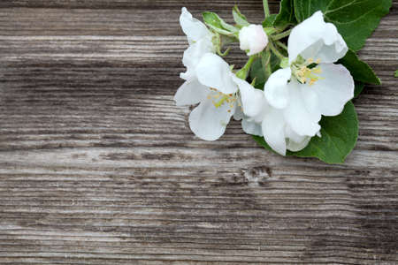 animal vein: apple blossoms on wooden surface and empty space for your text Stock Photo