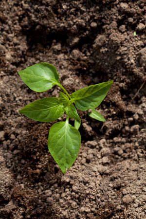 paprika plant in soil photo