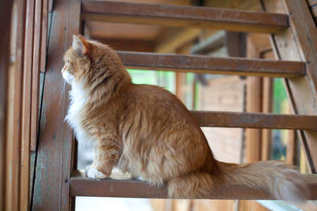 country house: red fluffy cat on stairs of an old country house