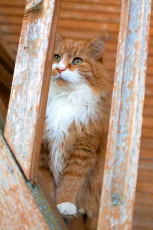 red fluffy cat on stairs of an old country house photo