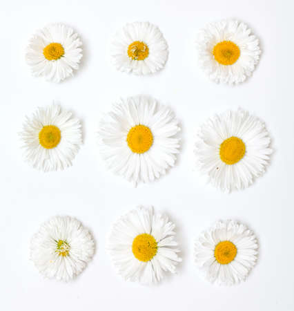 daisyflower: daisies of different size and shape isolated on white background