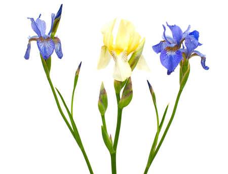 iris blossom: iris flowers
