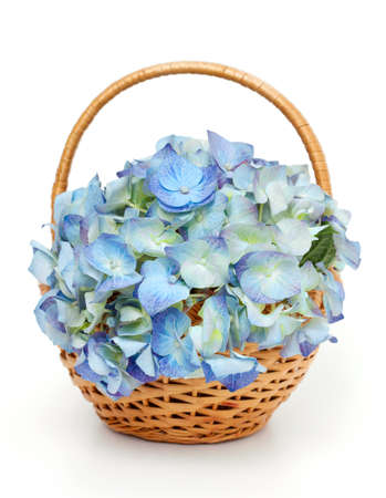 Blue Hydrangea in a basket photo