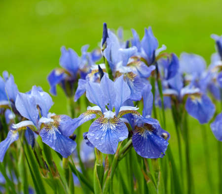 beautiful iris flowers with rain drops photo