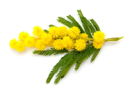 branch of mimosa isolated on white Stock Photo