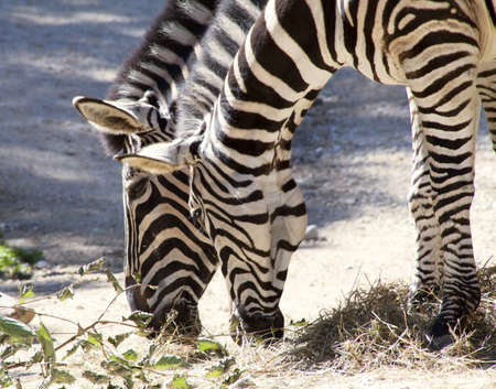 two zebras eating photo