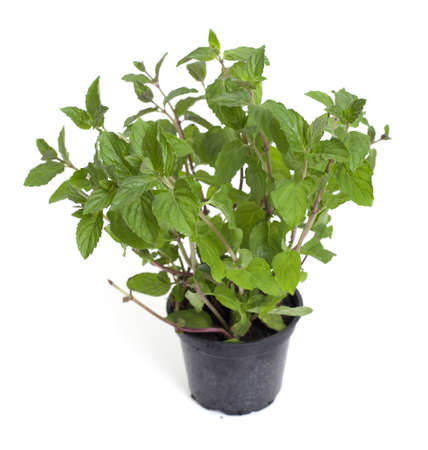 fresh peppermint in a plastic pot on white background photo