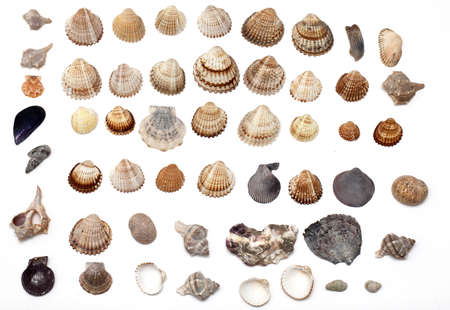 set of different sea shells on white background Stock Photo - 14465051