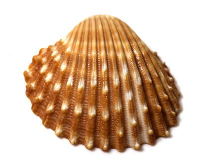 sea shell close up isolated photo