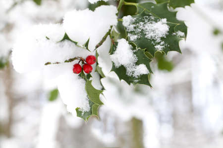 thorn bush: olly with bright red berries covered in snow