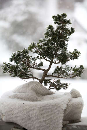 covered bonsai tree  in winter photo