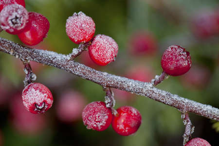 red berries covered with morning frost photo