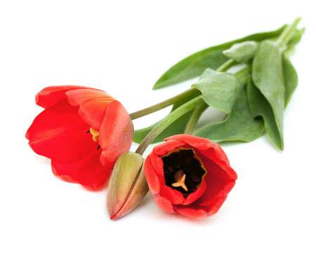 three red tulips lying on white backrgound photo