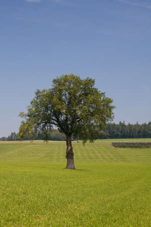 lonely tree on green grass photo