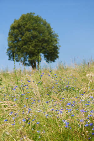 field with corn flowers photo
