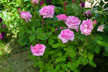 rose bushes photo